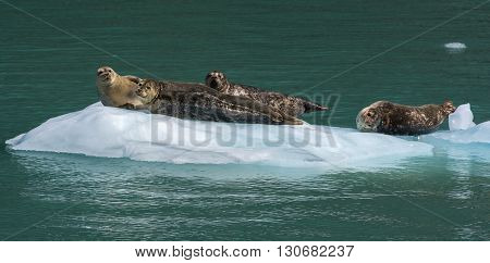 Four seal rest on a small white melting ice flow