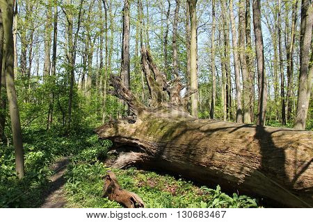 rotting trunk of a huge old fallen tree in the forest in spring