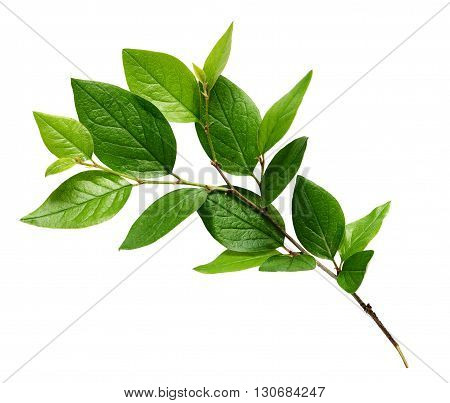 Twig with green leaves isolated on white