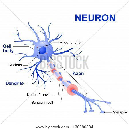 Anatomy of a typical human neuron (axon synapse dendrite mitochondrion myelin sheath node Ranvier and Schwann cell). Vector diagram