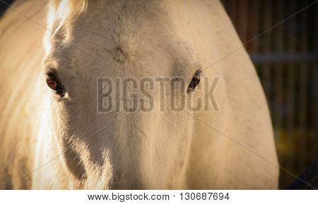 White horse looking into your eyes at first light