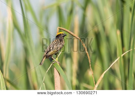 Streaked weaver perched Ploceus manyar. The streaked weaver is a species of weaver bird found in South Asia. These are not as common as the baya weaver but are similar looking but have streaked underparts.