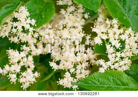 Flowers elderberry Sambucus nigra elderberry flower white