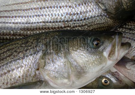 Rockfish Catch