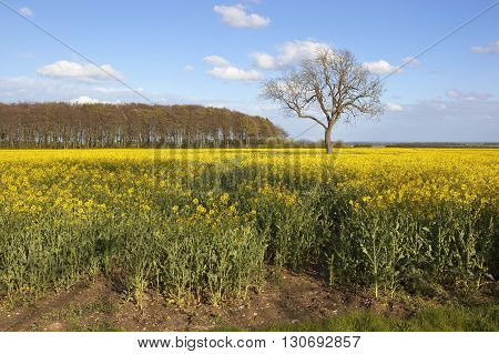 Woodland Copse With Flowering Oilseed Rape Crop