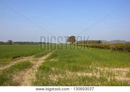 Yorkshire Springtime Wheat Fields