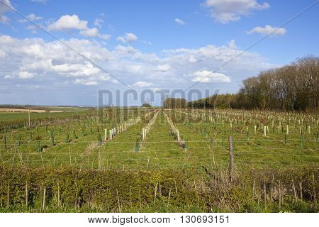 Plantation Of Young Trees