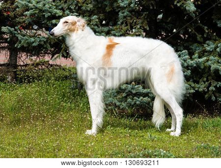 Borzoi Russian profile. The Borzoi Russian dog is on the green grass.