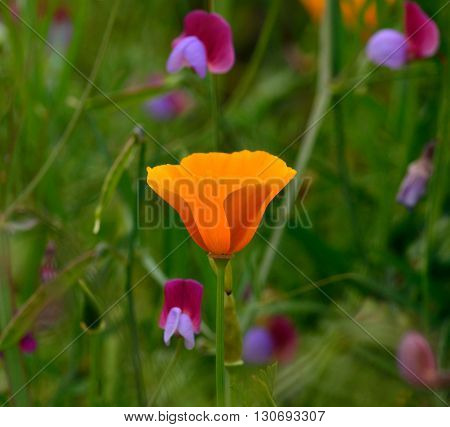 Beautiful orange poppy among wildflowers, Eschscholzia californica