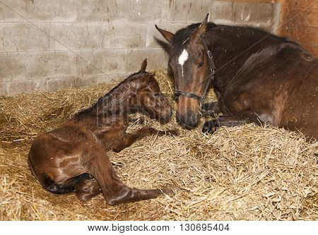 Mare With Foal After Birth
