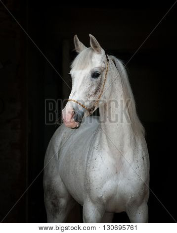 beautiful white horse over a black background