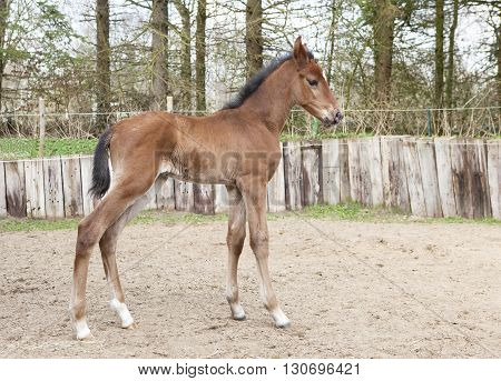 Brown Warmblood Foals