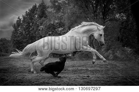 white horse runs with the dog on the dark trees background