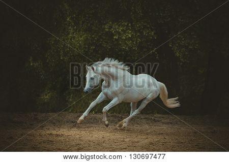 white horse runs on the dark green trees background