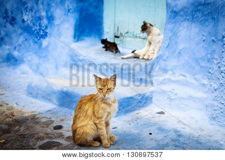 Cats in the town of Chefchaouen in Morocco