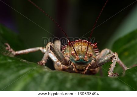 Armoured Cricket (Acanthoplus Discoidalis) on large palm leaf