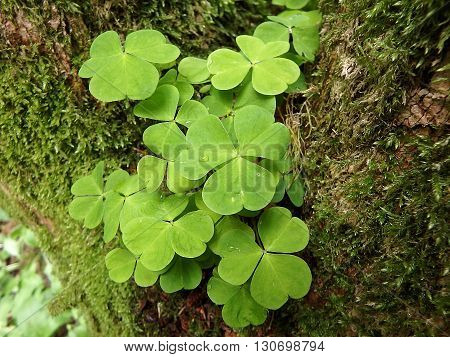 Wood-sorrel ( Oxalis acetosella ) , background , tree,