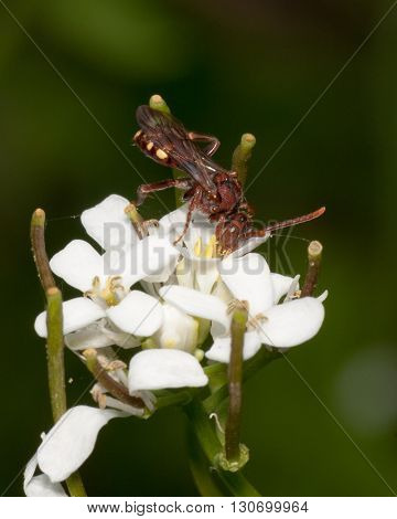 Wasp Perched On A Flower in early spring.