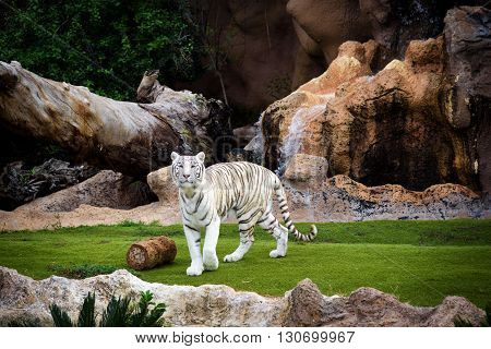 White tiger walking at Loro park on Tenerife island, Spain