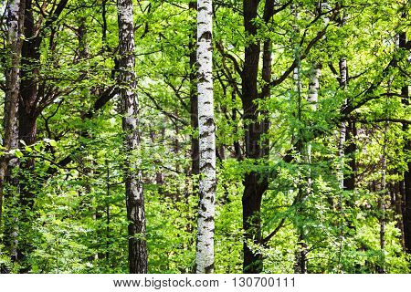 Birch, Alder, Aspen, Larch Trees In Green Forest