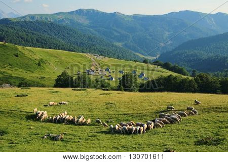 idyllic scene with flock of sheep and eco-lodges in Biogradska Gora National Park, Montenegro