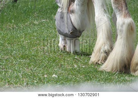 Skinny, white and beige long hair horse wearing a eye sunshade.