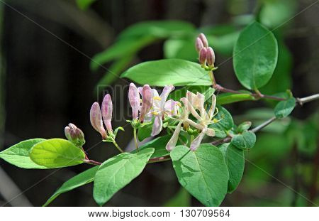 Flowers buds and leaves of Etruscan honeysuckle Lonicera etrusca