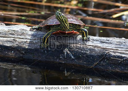 A turtle sitting on a log in the wetland