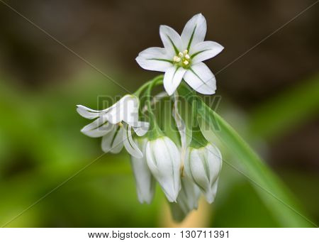Three-cornered garlic (Allium triquetrum) in flower. Drooping bell-shaped flowers of plant in the family Amaryllidaceae showing green midvein