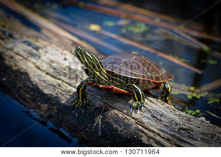 A turtle sitting on the log in the wetland