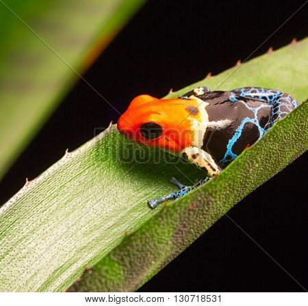 fantastic red headed poison dart frog, Ranitomeya fantastica. A beautiful macro of a tropical dartfrog from the Amazon rain forest of Peru.