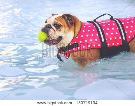 a bulldog in a life vest with a tennis ball having fun at a local public pool toned with a retro vintage instagram filter app or action effect