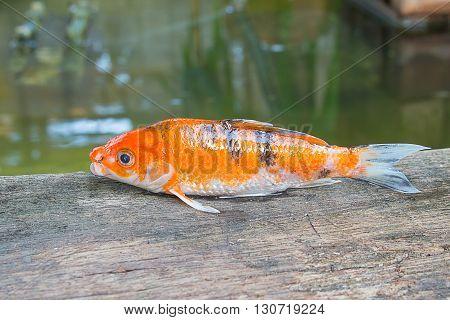 beautiful Koi fish Multi-colored Tips on The Wood
