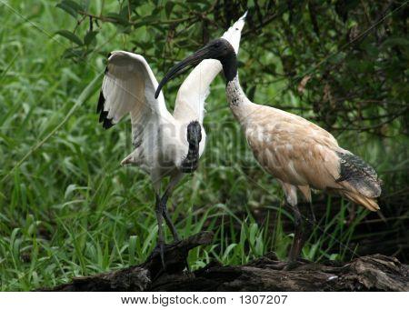 Ibis Birds