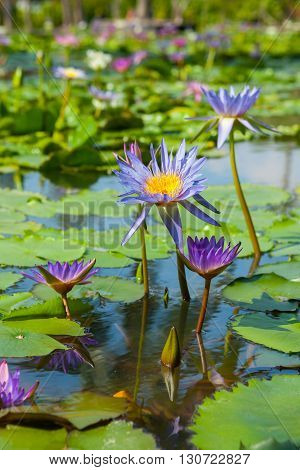 Beautiful lotus flower or waterlily in the garden Thailand