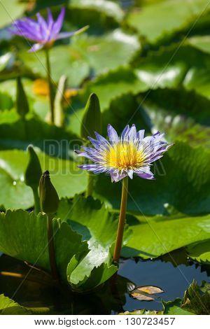 Beautiful Lotus Flower Or Waterlily
