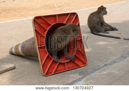Small monkey climbing out of a traffic cone