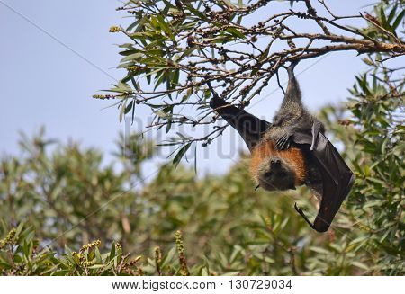 Male grey headed flying fox (fruit bat) Pteropus hanging from a tree with one leg with wing unfurled, Sydney, Australia.
