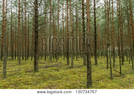 Many Trees In Forest