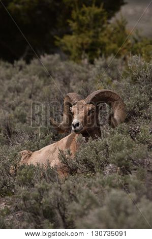 a big horn ram sits in the sage brush