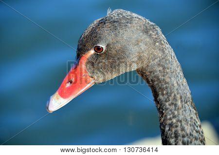 Young Australian Black Swan (cygnet) in profile