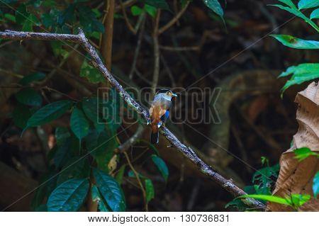 Silver-breasted Broadbill (Serilophus lunatus) beautiful bird on a branch