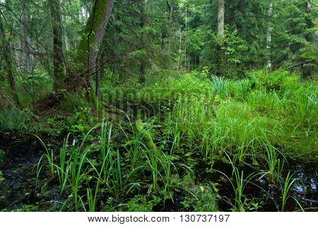 Rich riparian mixed stand of Bialowieza Forest in morning, Poland, Podlasie Province, Europe