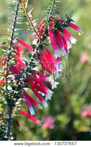 Pink, red and white bell shaped flowers of the Australian Fuchsia Heath