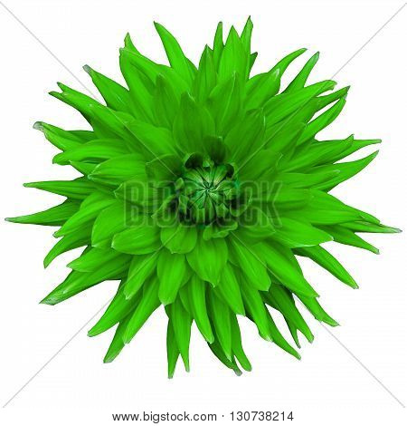 Dahlia flower isolated on a white background. Macro. Closeup. It can be used in website design and printing. Suitable for designers. Green.