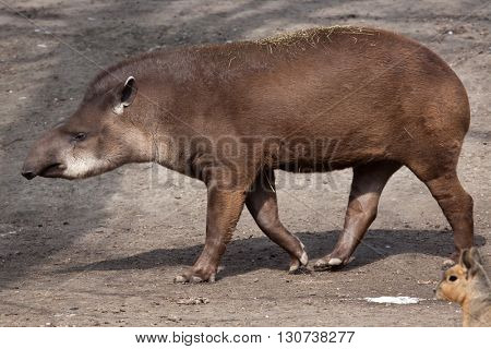 South American tapir (Tapirus terrestris), also known as the Brazilian tapir. Wild life animal.