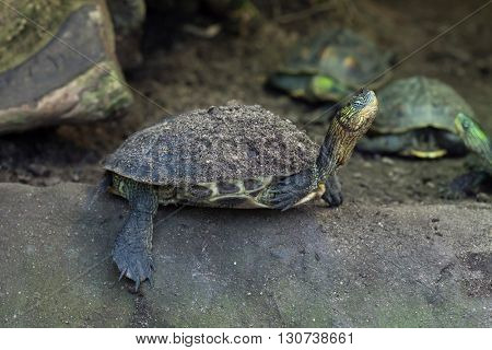 Chinese stripe-necked turtle (Ocadia sinensis), also known as the golden thread turtle. Wild life animal.
