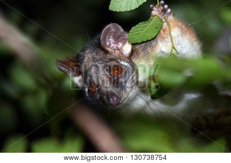 Curious cute Australian Ringtail Possum holding onto a branch in the tree canopy