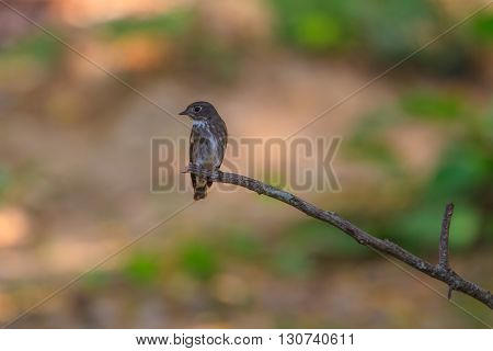 Dark-sided Flycatcher (muscicapa Sibirica), Standing On A Branch