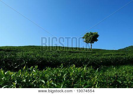 Einsamer Baum in Teeplantage